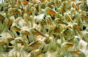 A close-up of many White Pelicans, jumbled together in a large group.