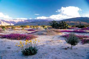 Bright yellow and lavender plants bloom in the springtime amid desert sand.