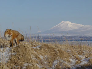 A red fox stands in tall, golden grasses amid snow.  In the distance, a snowy peak crowns the horizon.
