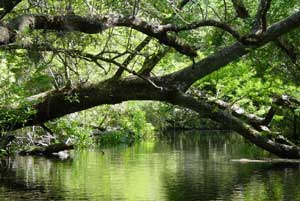A large tree bent out over a small pond, the foliage above creating a dense green ceiling, reflected on the surface of the water.