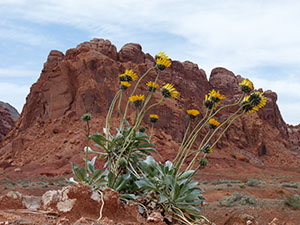 Red sandstone towers behind sunray flowers.