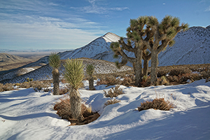 Two big blooming yucca plants stand in the middle of a desert.