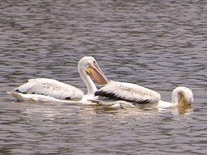 Four lazy pelicans drift along through still waters.