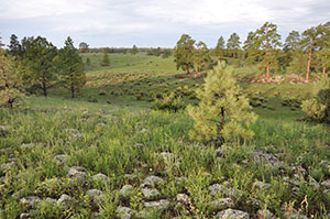 Large Ponderosa pine trees dot grassy rolling hills