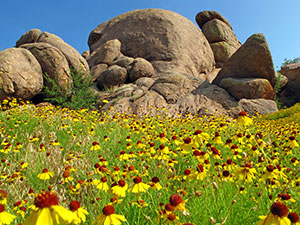 Round rocks site amid brilliant yellow flowers