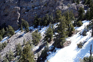 A photo of spring snow and limber pine north of Meeker Peak.