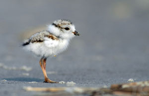 A close up shows a tiny, down-covered chick testing out its legs on the sand.