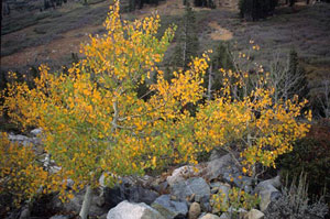 An autumn aspen growing out of large rocks along the Pacific Crest Trail in the Tahoe National Forest.