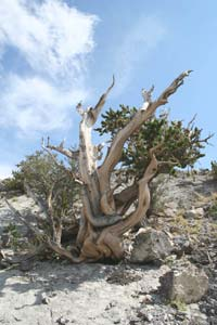 A weathered pine tree, clinging to an exposed slope, contrasted against a background of pale blue sky.