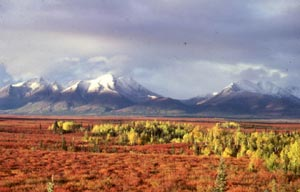 The tundra in autumn -- yellow Tamarac groves among brilliant orange shrubs with snowcapped mountains in the distance.