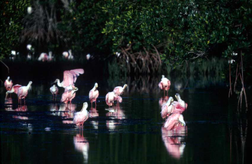 A group of brilliant pink spoonbills standing in a placid mangrove swamp, surrounded by inky black water.