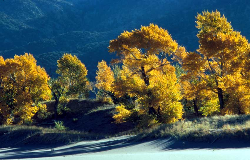 Deciduous trees, yellow in autumn, on the edge of sand dunes with mountains in the background.