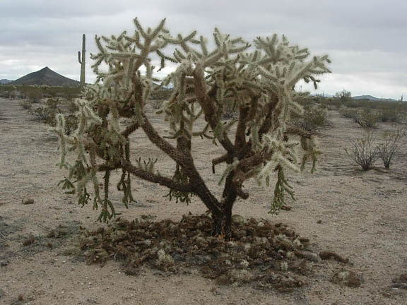 This photo of a Chain Fruit cholla captures not only the tree-size plant but also the dry landscape that sprouts cacti and other desert shrubs.