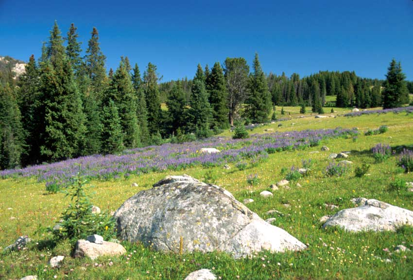 A lush rocky alpine meadow, covered in a bed of purple lupine blossoms, under a deep blue sky.