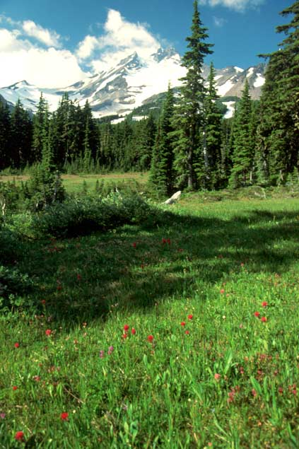 Viewing up from a grassy forest meadow, to a rugged snowcapped peak rising in the distance.