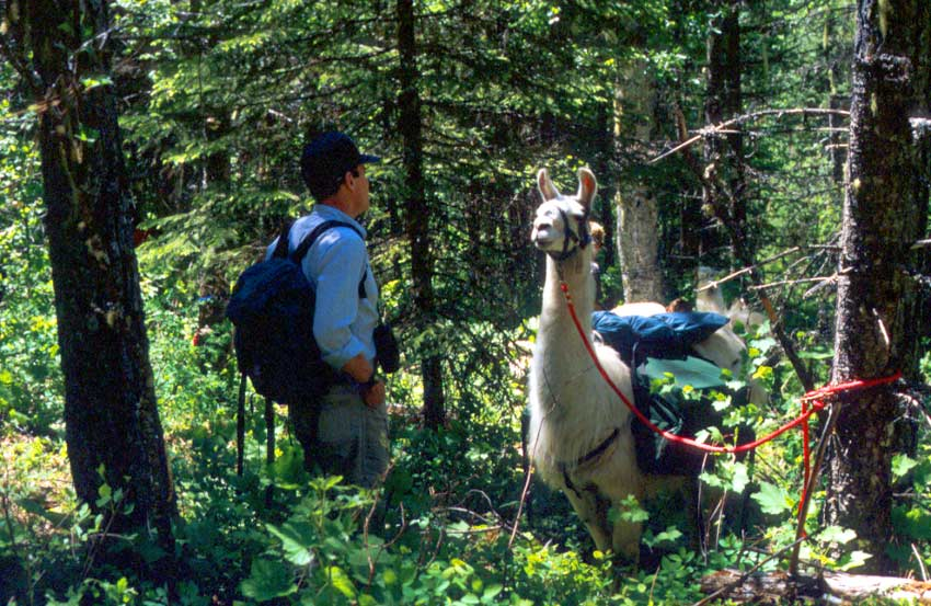 A man standing near a white pack llama tethered to a tree, amid dense forest growth.