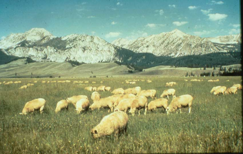 A large flock of domestic sheep grazing on an open plane, stretching off to barren mountains in the distance.
