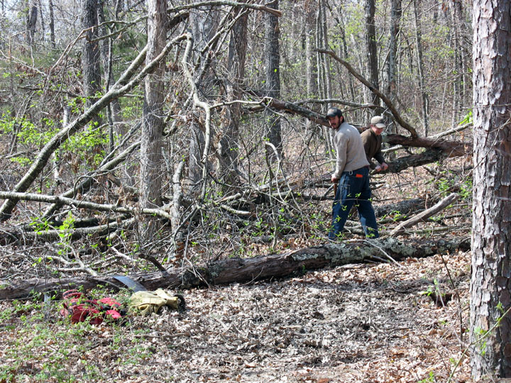 Two men using large handsaws to clear trees from a woodland trail.