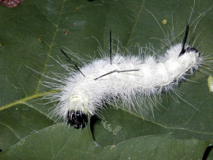 A close up of a large white caterpillar with long fuzzy hair, sitting on a green leaf.