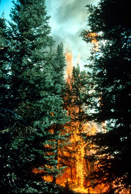 Looking into the forest, tall orange flames engulfing the trunks of large pine trees.
