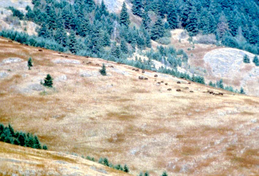 Looking out to a large grassy hillside dotted with pine trees, a loose herd of Bison grazing along the slope.