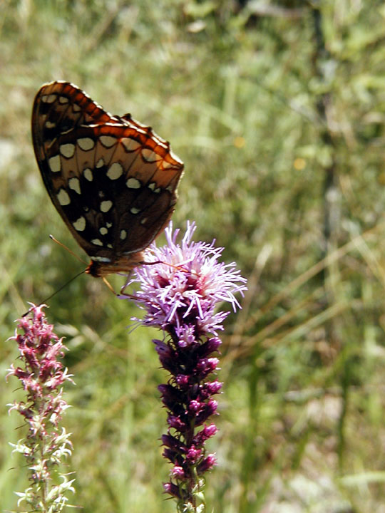 An orange and brown butterfly with white spots, perched atop a slender fuzzy pink flower.