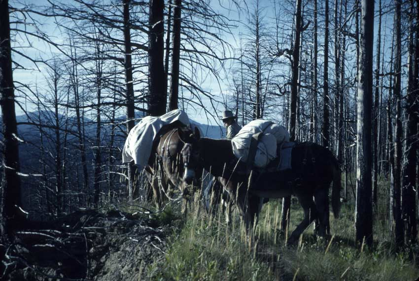 A man with two pack mules, standing near an overlook in a burned out forest.
