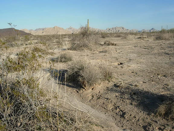Dead stems of an invasive plant known as Sahara Mustard. This exotic plant has spread over vast areas of the Sonoran desert and is very difficult to control in remote areas.