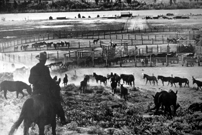 A vintage black and white image of a cowboy on horseback, looking down over a stockyard of many corals filled with horses.