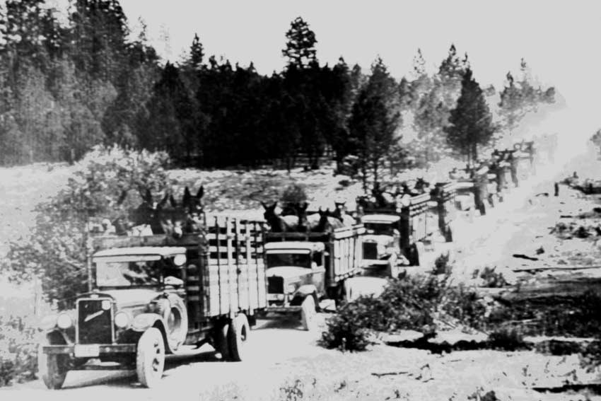 A vintage black and white image of a long string of trucks loaded with livestock, stretching off into the dust in the distance.