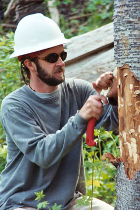 A man wearing a hard hat, using a small hand tool to strip bark from a tree, in preparation for removal.