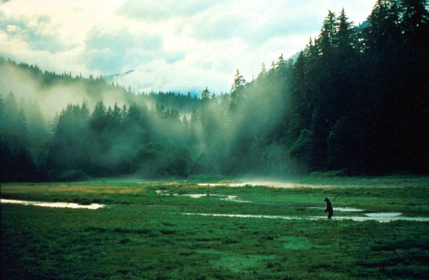 A bear standing on his hind legs in the middle of a coastal meadow, with tall forest trees blanketed in mist, rise above.