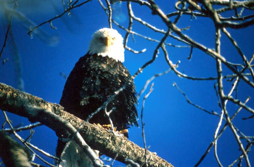 Looking up through braches at a large bald eagle perched in a tree, against a deep blue sky in the background.