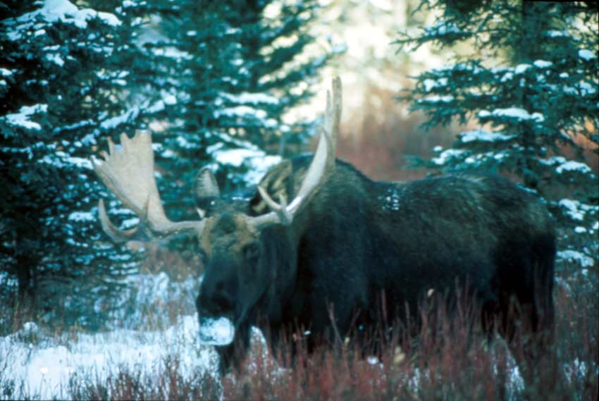 A large bull moose with his nose covered in snow, slowly trudging through a winter forest.