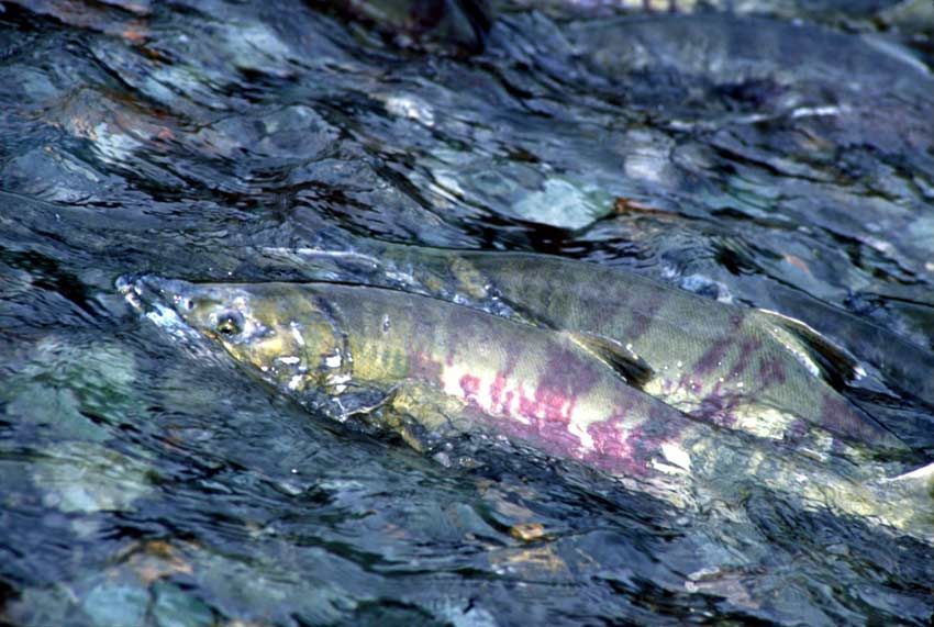 Two large chum salmon struggle up a shallow stream, their silvery green bodies striped with burgundy hues.
