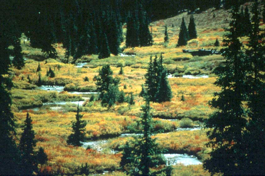 A small stream flowing through low tundra in bright yellow fall colors, dotted with small spruce trees.