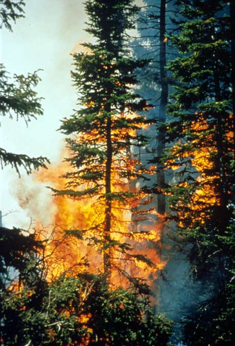 A look into a forest fire, several tall spruce trees being rapidly engulfed in orange flames.