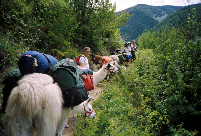 A pack string of while llamas accompanying several hikers down a forest trail, with low mountains in the background.