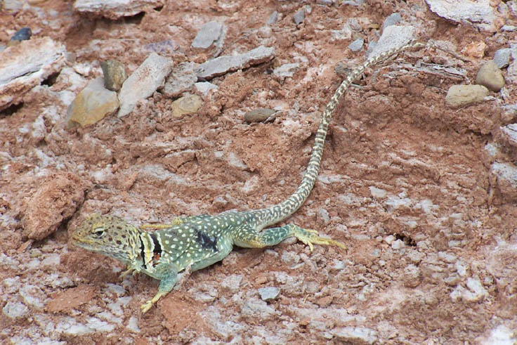 A close-up of a large green lizard, covered in yellow dots, and a black stripe across its neck.