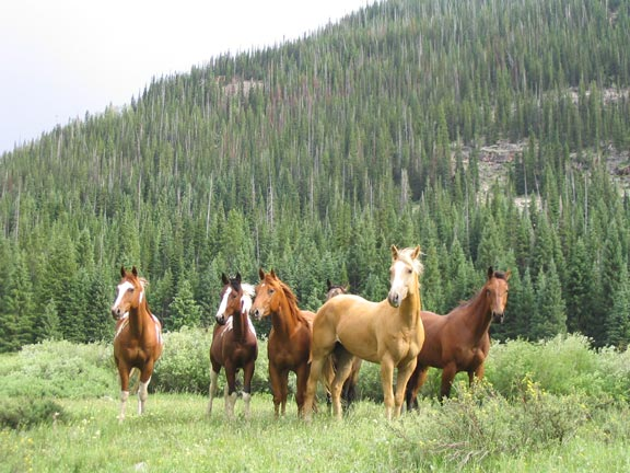 A small band of horses standing in the middle of a brushy meadow, with high forested slopes in the background.