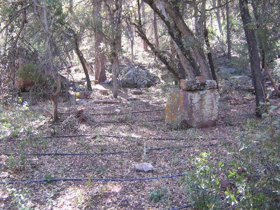 An abandoned marijuana plantation in the Sierra Ancha Wilderness. The plantation was amidst a concentration of some deciduous trees and shrubs.