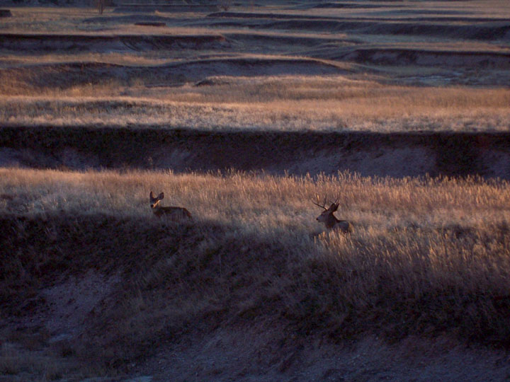 A buck and doe Mule Deer bedded down in the prairie grass, with the last golden light of sunset contrasting with the deep blue shadows.