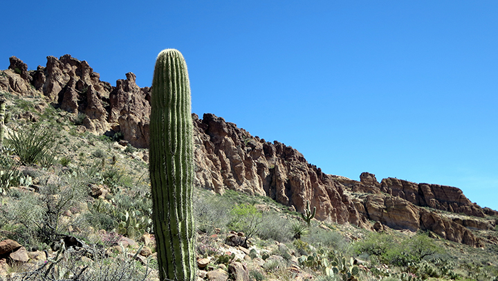 A lone Saguaro cactus sits in front of rocks