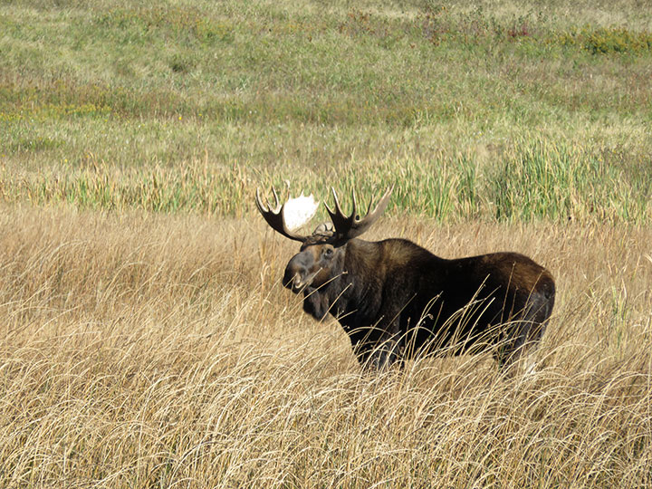A bull moose standing in tall grass