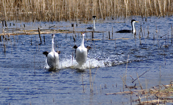 Western grebes splashing in the water as part of a mating ritual