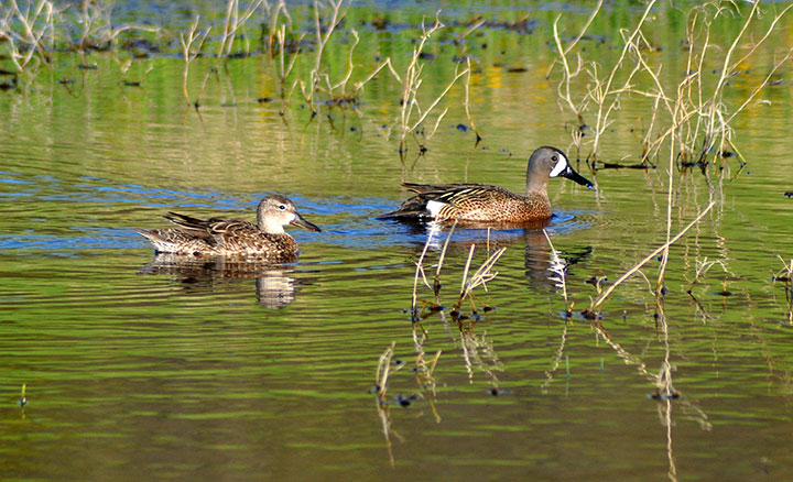 A male and female pair of duck-like birds swimming