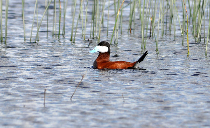 A brown duck with a blue beak