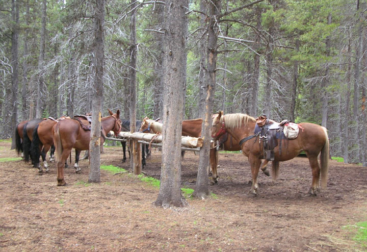Horses rest at a hitchrail among pine trees.