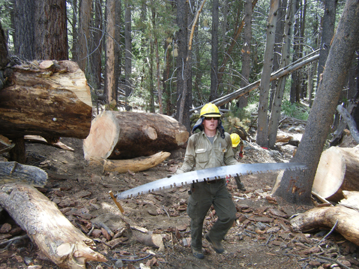 A male ranger wears a yellow hard hat and carries a seven foot bucking saw among many cut trees in the John Muir Wilderness.