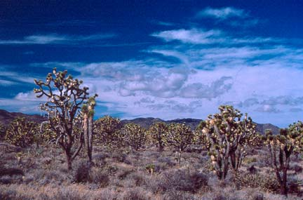 Unique cactus-like trees dot the landscape surrounded by low gray brush, with wispy clouds above streaking the blue sky.